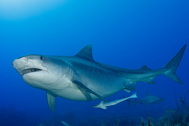 Did you know that Tiger Sharks can pose?